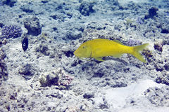 Yellowsaddle goatfish (parupeneus cyclostomus) Royalty Free Stock Images