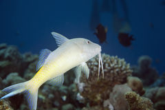 Yellowsaddle goatfish (parupeneus cyclostomus) Royalty Free Stock Photo