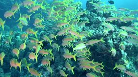 School of Yellowsaddle goatfish Parupeneus cyclostomus in Red sea stock video