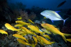 Yellowsaddle goatfish in the Red Sea. Stock Image
