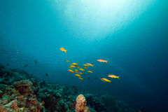 Yellowsaddle goatfish in the Red Sea. Stock Images