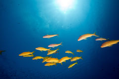 Yellowsaddle goatfish in the Red Sea. Royalty Free Stock Images