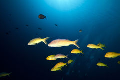 Yellowsaddle goatfish in the Red Sea. Royalty Free Stock Photography