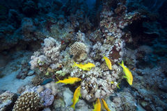 Yellowsaddle goatfish in the Red Sea. Royalty Free Stock Image