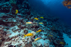 Yellowsaddle goatfish in the Red Sea. royalty free stock photo