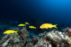 Yellowsaddle goatfish in the Red Sea. Stock Photo