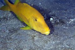 Yellowsaddle goatfish in the Red Sea. Royalty Free Stock Photos