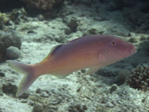 Yellowsaddle goatfish Stock Photo