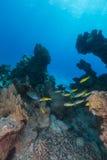Yellowsaddle-Meerbarben und Wasserleben im Roten Meer. Lizenzfreies Stockbild