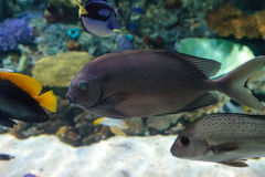 Yellowspot rabbitfish Siganus guttatus Royalty Free Stock Photos