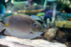 Yellowspot rabbitfish Siganus guttatus Royalty Free Stock Photo