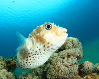 Yellowspotted Burrfish Stock Images