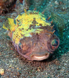 Yellowspotted burrfish Royalty Free Stock Photos