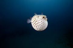 Yellowspotted burrfish and ocean Royalty Free Stock Image
