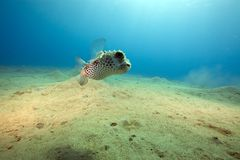 Yellowspotted burrfish and ocean Royalty Free Stock Images