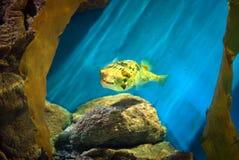 Yellowspotted burrfish Stock Photos