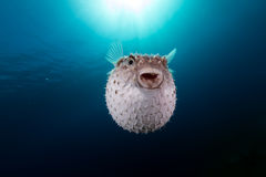 Yellowspotted burrfish using its defense system. Stock Photos