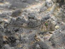 Yellowspotted puffer Torquigener flavimaculosus ryba dopłynięcie Obraz Stock