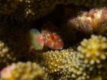Yellowspotted Scorpionfish Fotografia Stock