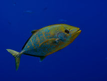 Yellowspotted Trevally Royalty Free Stock Photo
