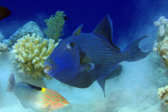 yellowspotted triggerfish Royaltyfri Bild