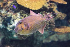 Yellowspotted triggerfish Arkivfoto