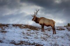 Yellowstone älg som betar i vinter fotografering för bildbyråer