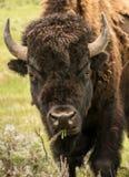 Yellowstone żubra zakończenie Up Fotografia Royalty Free