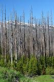 Yellowstone 20 ans après le grand incendie Images stock
