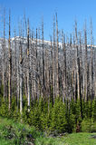 Yellowstone 20 years after the big fire Stock Images