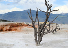Yellowstone. Albero guasto. fotografie stock