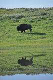 Yellowstone american bison buffalo lake reflection Stock Photo