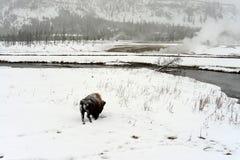 Yellowstone American Bison Bull Stock Photography
