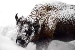 Yellowstone American Bison Royalty Free Stock Images