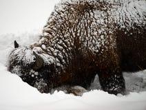 Yellowstone American Bison closeup Stock Photos