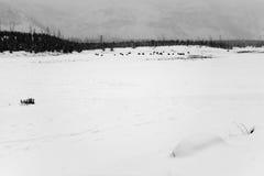 Yellowstone American Bison Herd Stock Image