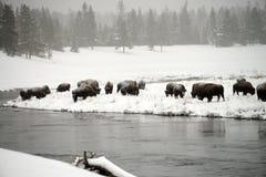 Yellowstone American Bison Herd Royalty Free Stock Photo