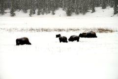 Yellowstone American Bison Herd Stock Photo