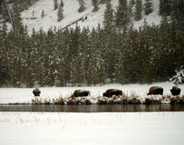 Yellowstone American Bison Herd Stock Images