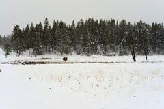 Yellowstone American Bison Stock Photo