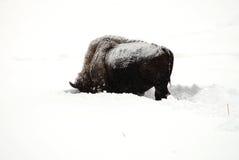 Yellowstone American Bison Stock Photography