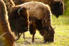 Yellowstone Amerykański żubr Fotografia Royalty Free