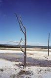 Yellowstone-Baum an den heißen Frühlingen Lizenzfreies Stockfoto