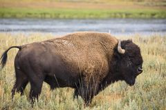 Yellowstone-Bison Stockfoto