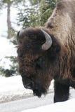 Yellowstone-Bison Stockfotografie