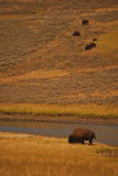 Yellowstone Bison. A herd of bison roam the plains in Yellowstone Park, Wyoming royalty free stock photography