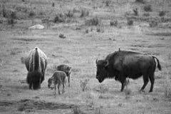 Yellowstone-Bison Stockbild