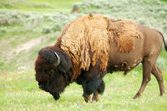 Yellowstone bison and bird Royalty Free Stock Image