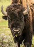 Yellowstone Bison Close Up Royalty-vrije Stock Fotografie