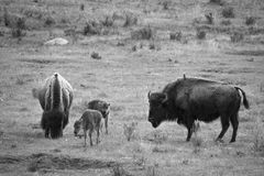 Yellowstone bison. A family of bison grazing in Yellowstone National Park Stock Image